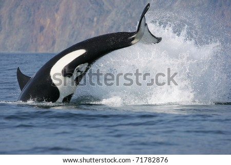 dynamic jump of killer whale hunting fish - stock photo