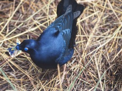 Dynamic Spirited Male Satin Bowerbird Collecting Objects for His Elaborate Bower.
