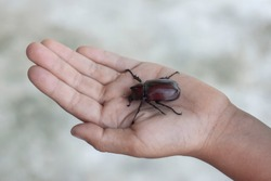 Dynastinae or stag beetle in hand of a child.