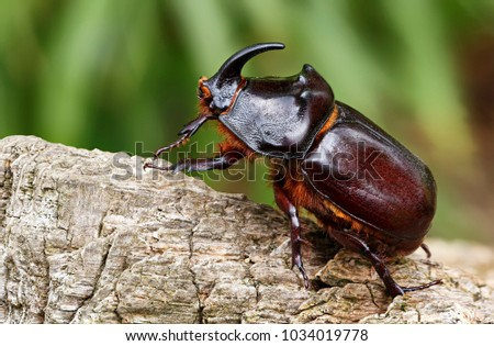 Dynastinae - Rhinoceros Beetle - Rhinoceros beetles have become popular pets in parts of Asia.