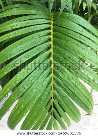 Dypsis lutescens plant, also known as golden cane palm, ripe palm, palm palm, yellow butterfly And there is water on the leaves.