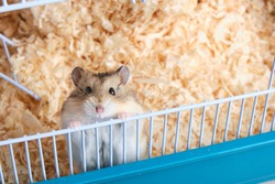 Dzungarian hamster in a cage with sawdust copy space