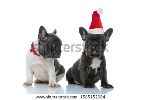 Eager French bulldog curiously looking to his sibling that wears santa hat while sitting side by side on white studio background, wearing red collars
