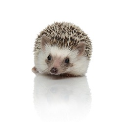 Eager hedgehog listening and sitting on white studio background