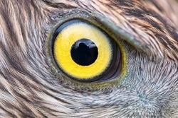 Eagle eye close-up, eye of the Goshawk