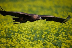 eagle flying over a field of blooming yellow rape