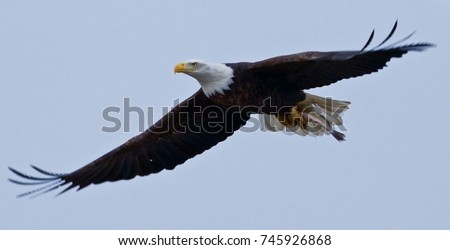 Eagle Flying with Fish #745926868