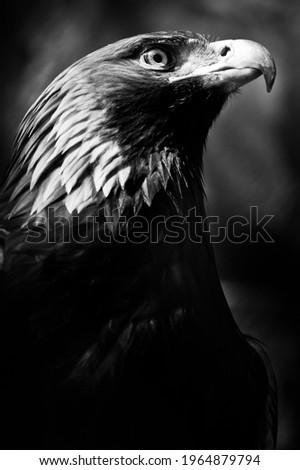 Eagle golden eagle black and white symbol of militarism dark background Foto stock ©