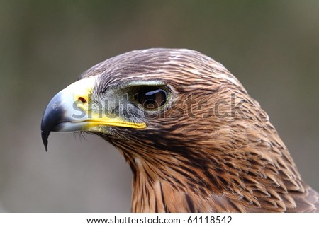 eagle hawk close up