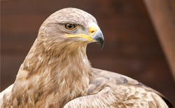 Eagle hawk portrait. Eagle hawk closeup. Eagle hawk head. Eagle hawk looking