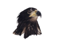 Eagle head isolated on white portrait