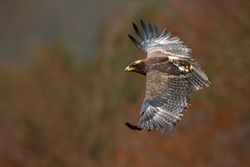 Eagle in flight. Flying dark brawn bird of prey Steppe Eagle, Aquila nipalensis, with large wingspan. Wildlife scene from European nature.