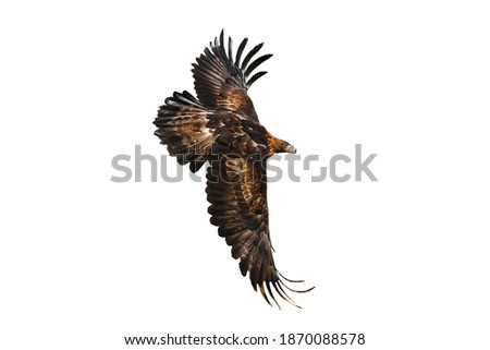 Eagle in flight. Golden eagle, Aquila chrysaetos, flying with widely spread wings isolated on white background. Majestic bird. Hunting eagle in mountains. Habitat Europe, Asia, North America.
