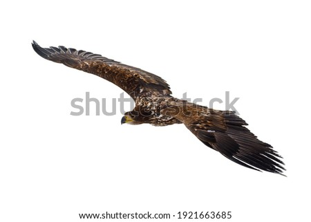 Eagle in flight isolated on white background. White-tailed eagle, Haliaeetus albicilla, flies with widely spread wings. Majestic bird hunting. Sea eagle is the largest eagle in Europe.