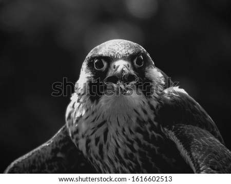 Eagle in Scotland, my first bird portrait Zdjęcia stock ©