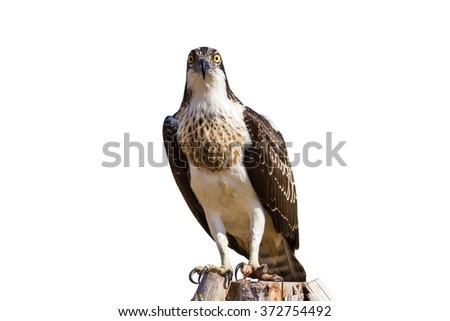 eagle isolated on white background \nWestern Osprey Pandion haliaetus