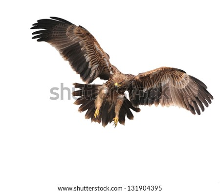 Eagle  landing in thailand.White background.