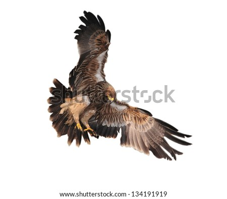 Eagle landing in thailand.White background.