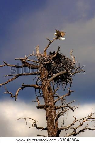 eagle mother