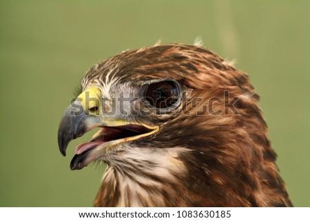Shutterstock Eagle of Harris ( Parabuteo unicinctus )