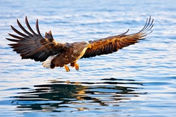 Eagle on sea. Flying bird of prey, White-tailed Eagle, Haliaeetus albicilla, with blue sky and white clouds in background. Wildlife scene with bird from nature. Bird in the ocean water.