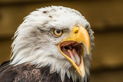 Eagle open mouth