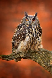 Eagle Owl, Bubo bubo, with open wings in flight, forest habitat in background, orange autumn trees. Wildlife scene from nature forest, Germany. Bird in fly, owl behaviour. Forest owl in fly.