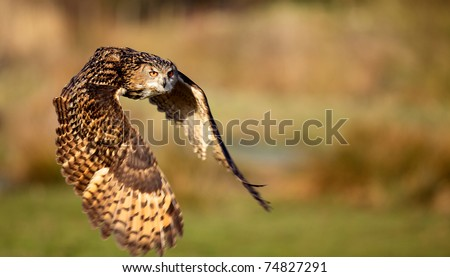 Eagle owl flying