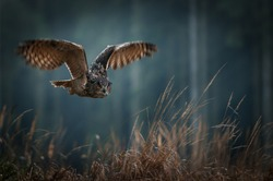 Eagle owl flying in the night forest. Big night bird of prey with big orange eyes hunting in the dark forest. Action scene from the forest with owl. Bird in fly with wide open wing.