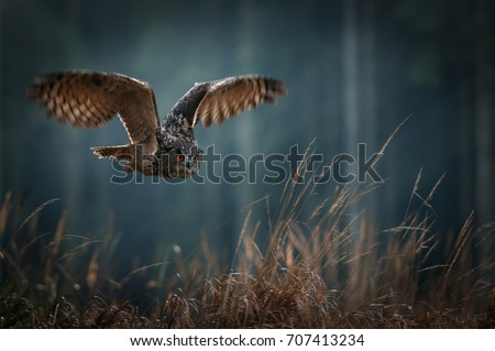 Stock Photo Eagle owl flying in the night forest. Big night bird of prey with big orange eyes hunting in the dark forest. Action scene from the forest with owl. Bird in fly with wide open wing.