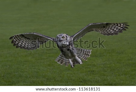 Eagle-Owl In Flight And Calling