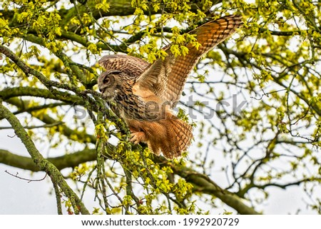 Eagle Owl, land awkwardly in a tree. Seen from the side. Wide spread wings, red eyes