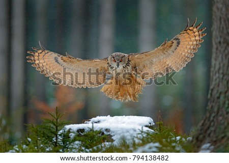 Eagle owl landing on snowy tree stump in forest. Flying Eagle owl with open wings in habitat with trees. Action winter scene from nature.