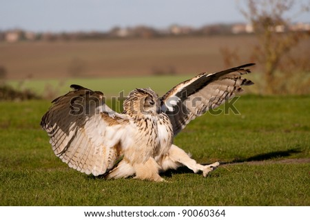 Eagle Owl landing on the ground