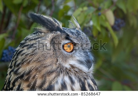 Eagle Owl Portrait