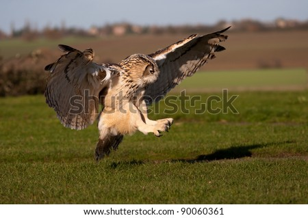 Eagle Owl pouncing on prey - stock photo