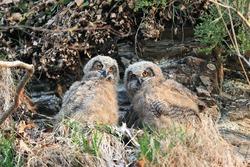 Eagle owl's cub Two new-born Eagle owl cubs