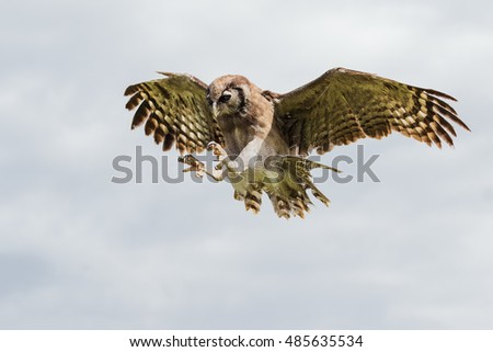 Shutterstock Eagle owl with talons poised. A huge Verreaux's eagle owl has its talons poised ready tom pounce.