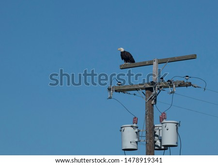 Eagle perched on electricity pole