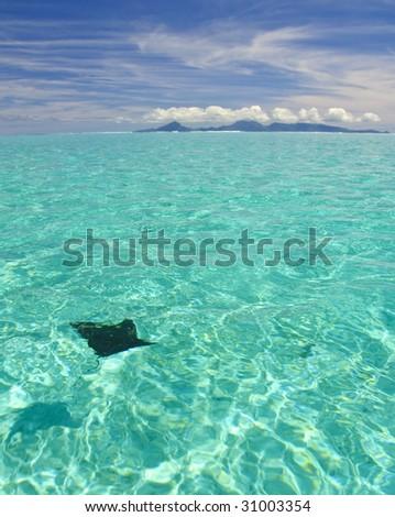Eagle ray swimming toward Raiatea