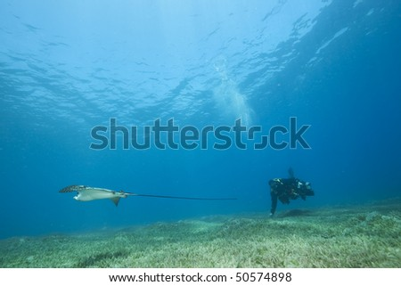 eagle ray, underwater photographer and ocean