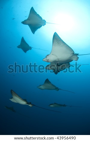 Eagle rays flight, Galapagos