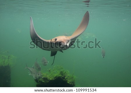 eagle string ray swimming, eagle ray