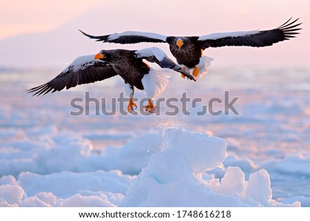 Eagle sunrise fight. Steller's sea eagle, Haliaeetus pelagicus, morning sunrise, Hokkaido, Japan. Eagle floating in sea on ice. Wildlife behavior scene, nature. Beautiful pink clouds in background.