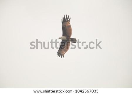 Eagle thai flying white background
