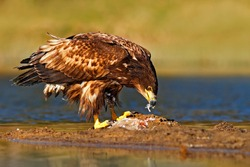 Eagle with fish. White-tailed Eagle, Haliaeetus albicilla, feeding kill fish in the water, with brown grass in background, Norway. Eagle in the water. Feeding scene with eagle and fish. Bird of prey.
