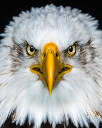 eagle with sharp beak and white feathers