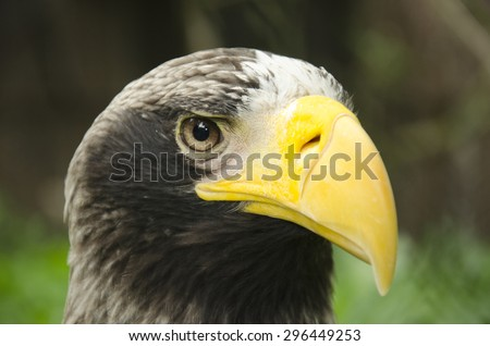 Eagle Without Beak Eagle With Yellow Hooked Beak