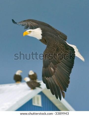 eagles gather near fishery in homer alaska