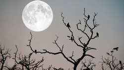 Eagles sitting on a dry tree branch with giant moon in background.